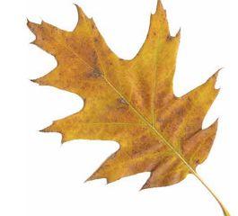 oak leaf (1)
