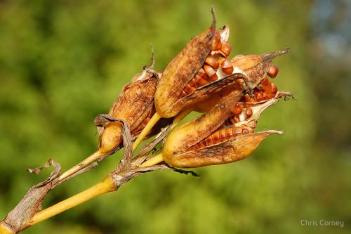 Seedpod of Iris by Sarah Bartlett